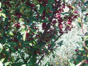 Elaeagnus multiflora 'Sweet Scarlet'