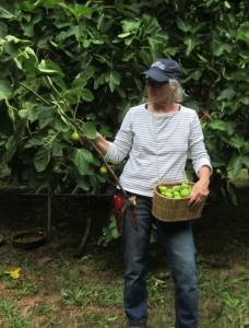 Fig Harvest 12